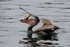 texas_saltwater_fishing_guides_pelican