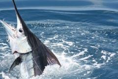 2018-Texas-Saltwater-Fishing-Guide-Marlin